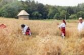 <span style='color:#B00000  ;font-size:14px;'>Amintiri din vatra satului</span> <br> Seceratul grâului în satul transilvănean</p>