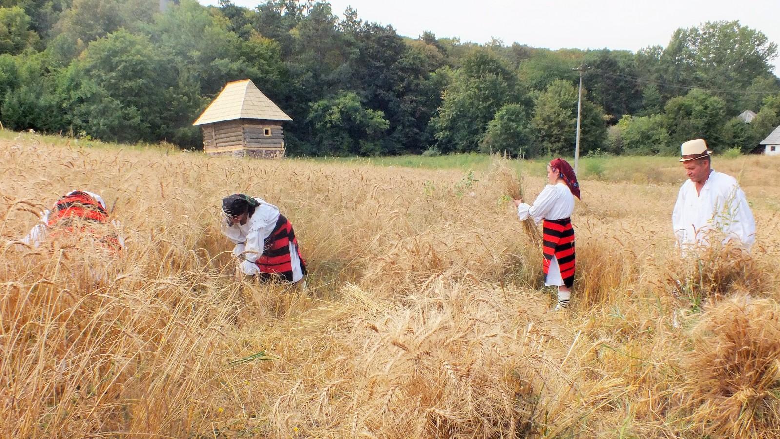 Seceratul grâului în satul transilvănean