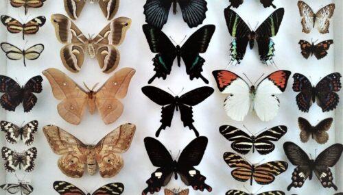 """O colecţie valoroasă de fluturi rari, donată Muzeului Zoologic al Universităţii """"Babeş-Bolyai"""""""